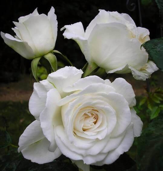 розы Аннапурна