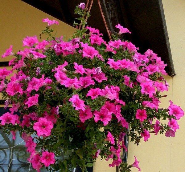 ампельные цветы для балкона