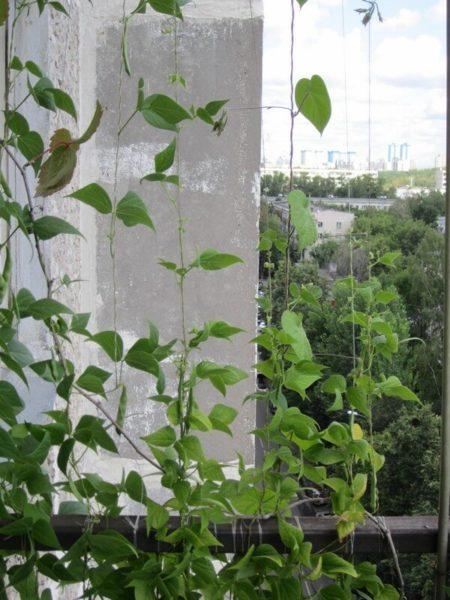 Вьющиеся растения на балконе