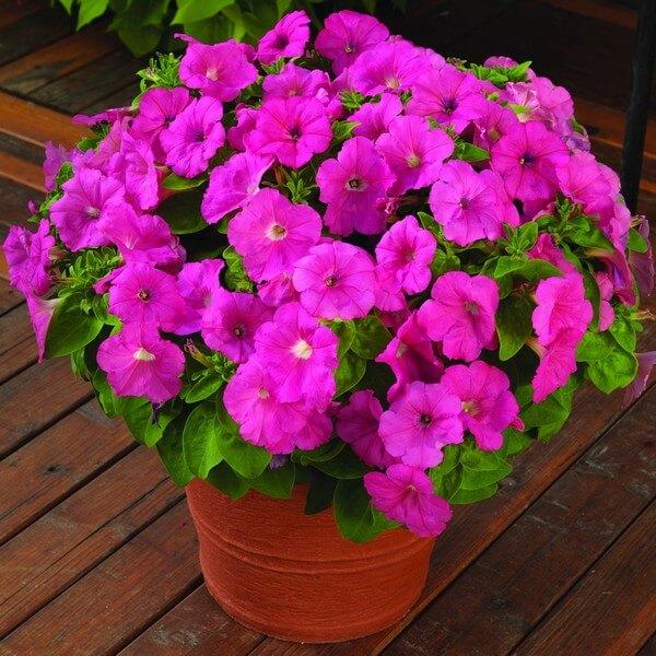 Многоцветковые сорта петунии