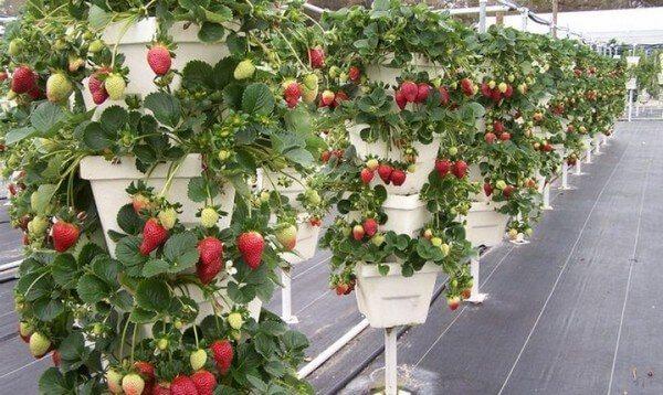Как сохранить землянику выращиваемую в ящиках зимой?