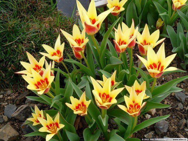 тюльпаны Кауфман