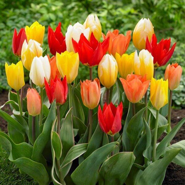 тюльпаны Фостер