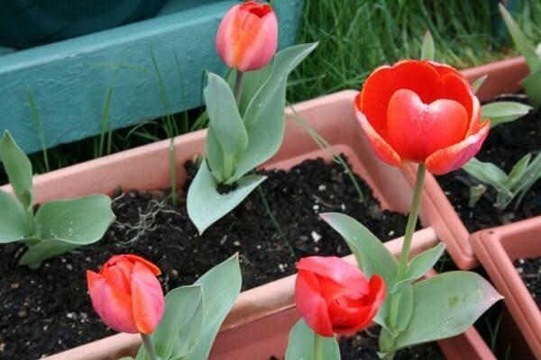 Пластиковый контейнер для тюльпанов