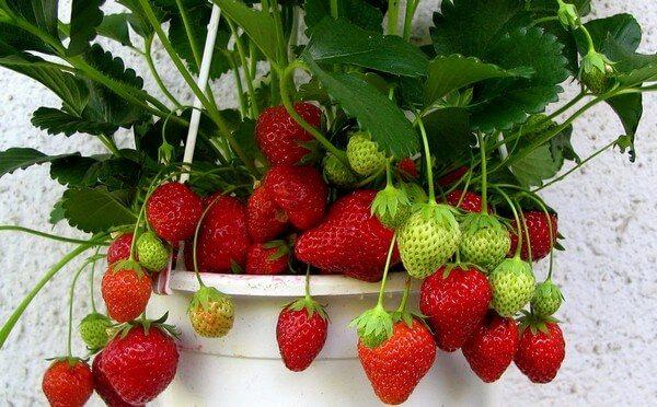 сочные ягоды земляники