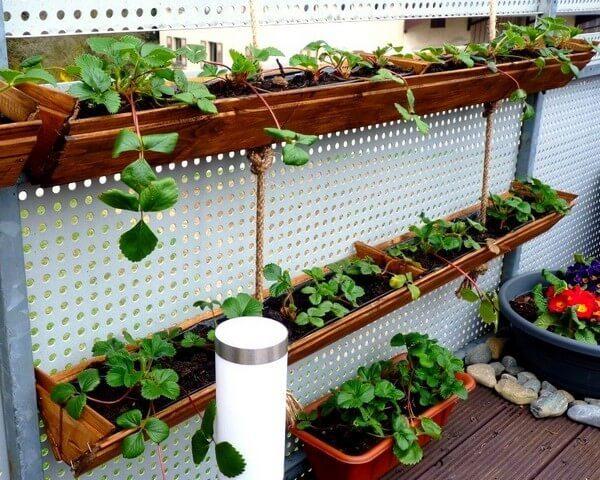 выращивание земляники на балконе