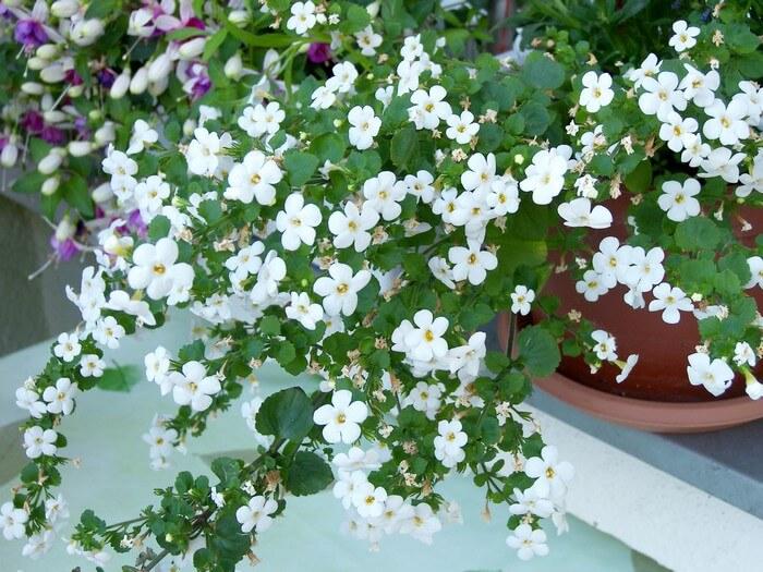 цветущая сутера