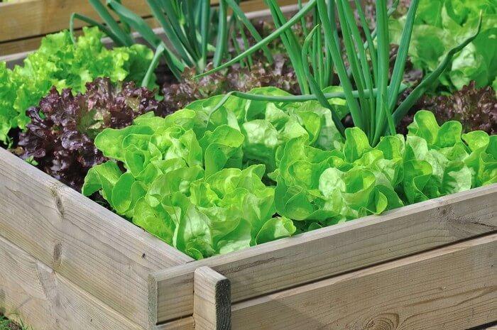 листовой салат и лук на балконе