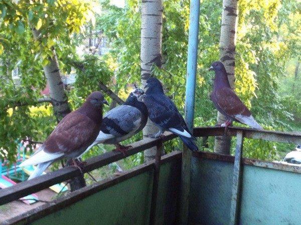 Борьба с голубями — Чисто в доме