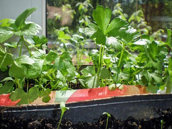выращивания петрушки на балконе